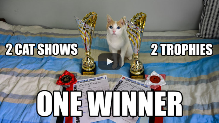 How I Won 2 Trophies at my First International Cat Show